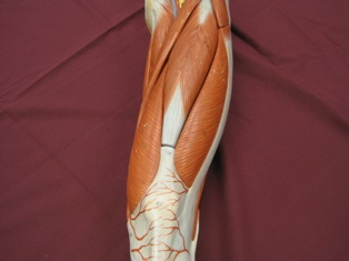 quadriceps-muscle-anterior-2 (1)
