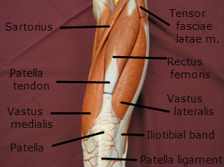 quadriceps-muscle-anterior-2-labeled