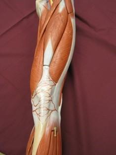 quadriceps-muscle-anterior-3
