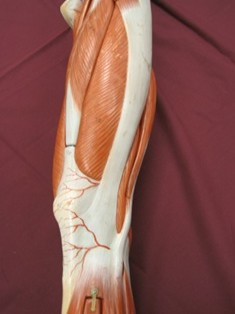 quadriceps-muscle-lateral-4 (1)