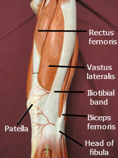 quadriceps-muscle-lateral-4-labeled