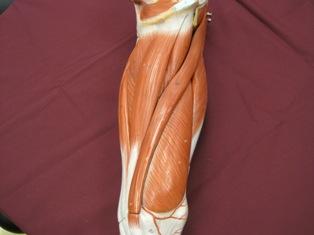 quadriceps-muscle-medial (1)