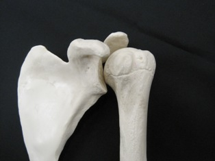 scapulae-humerus-bone-1611