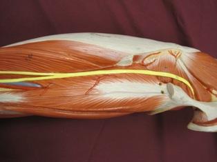 sciatic-nerve-hamstring-gluteal (1)