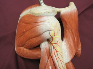 shoulder-muscles-axillary-nerve