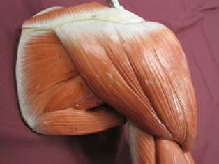 shoulder-muscles