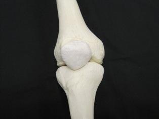 tibia-femur-bone-1748