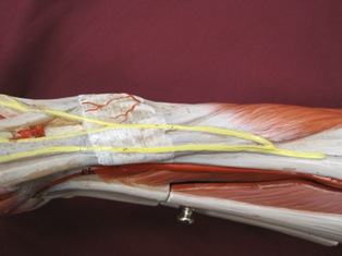 wrist-muscles-lateral (1)