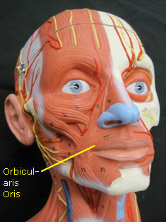 anatomy-model-face-muscles-87 edited 2
