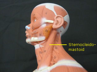 anatomy-model-lateral-neck-024-edited 2