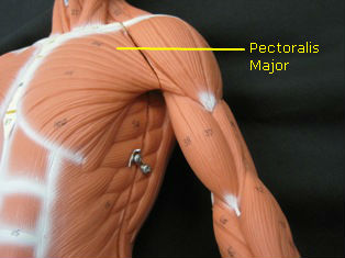 anatomy-model-muscles-034-edited