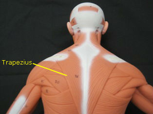 anatomy-model-muscles-back-029-edited 3