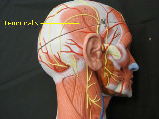 anatomy-model-muscles-head-805-edited