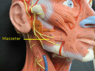 anatomy-modell-muscle-head-6013-edited-2